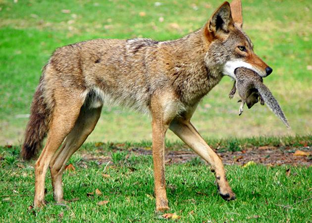 Основной рацион питания койотов животная пища, но так же может употребить в пищу и ягоды