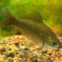 Рыба серебряный карась