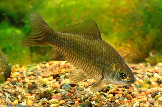 Самым грозным врагом для серебряного карася, является рыба ротан