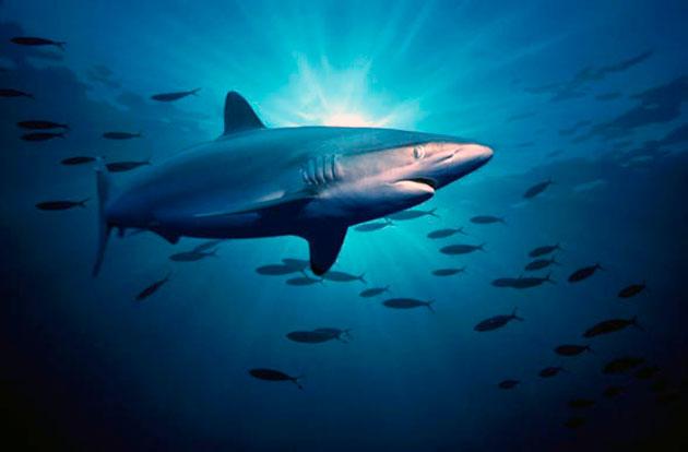 Шелковые акулы питаются рыбами меньших размеров