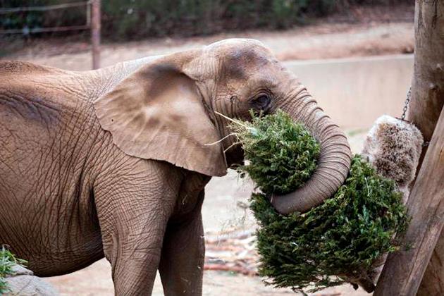 Слоны питаются исключительно растительной пищей