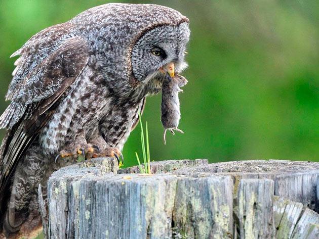 Совы – хищные птицы и поэтому основной их рацион – животная пища
