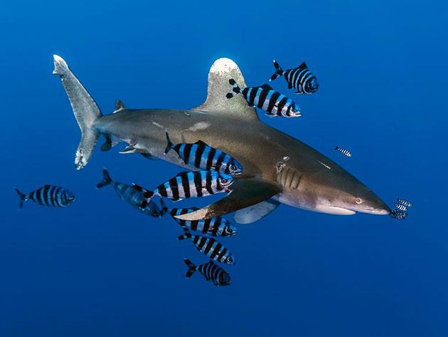 Шелковым акулам могут угрожать лишь косатки или более крупные виды акул