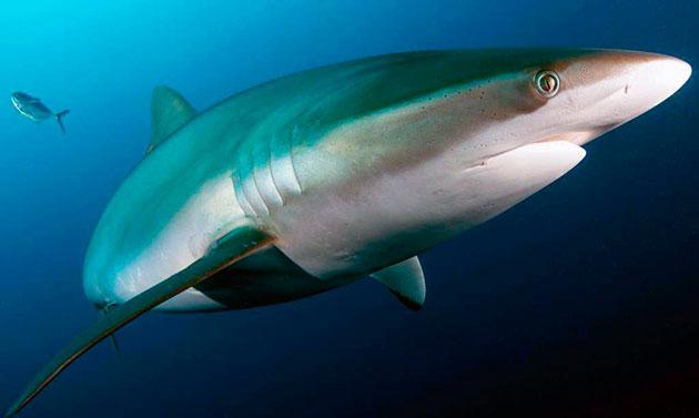 Шелковая акула обитает в водах температуры выше 23 градусов