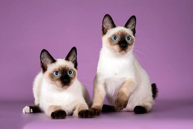 Породы кошек - Скиф-тай-дон