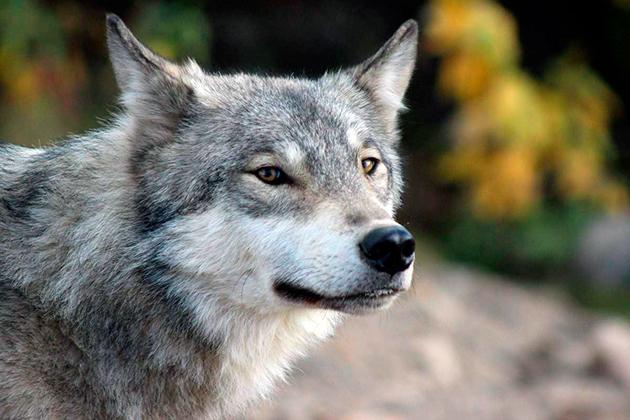 Продолжительность жизни волка в дикой природе примерно 15 лет