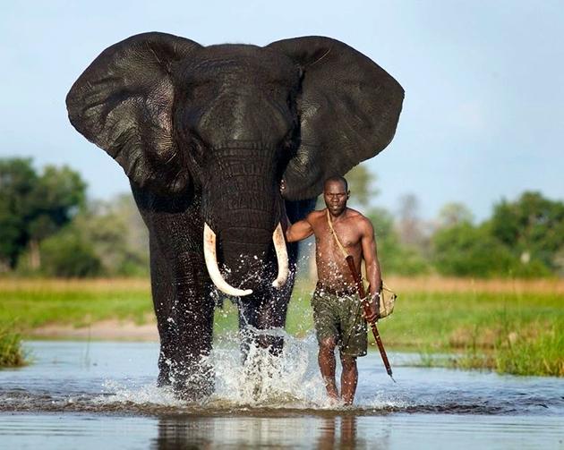 Многие люди пытаются сохранить популяции слонов, но некоторые безжалостно их истребляют