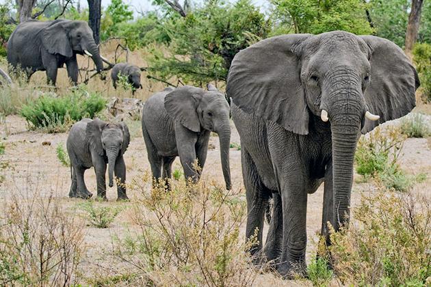 Слоны ведут стадный образ жизни