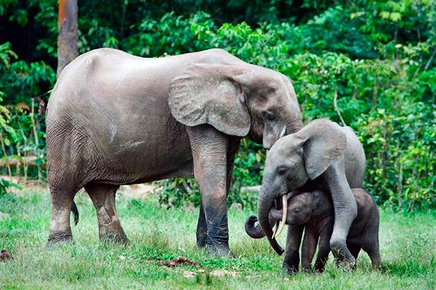 Самки слонов вынашивают потомство около полугода
