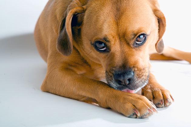 Сбалансированное питание, ежедневный осмотр – залог здоровых лап у собаки