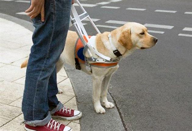 Первые собаки-поводыри появились ещё в средние века