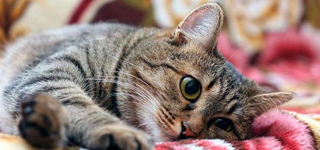 В содержание кельтских кошек нет ничего сложного