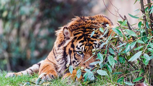 Исходя из названия, родиной суматранского тигра является остров Суматра