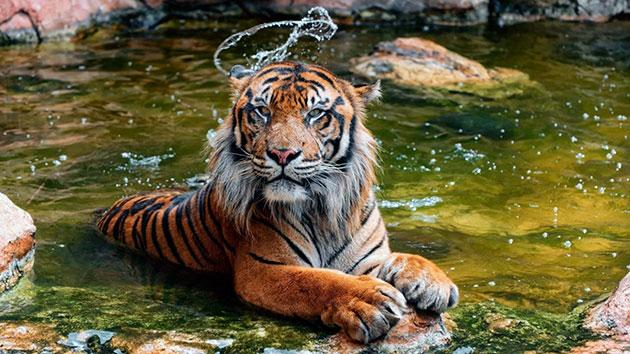 Суматранские тигры охотятся по ночам и нападают из засады