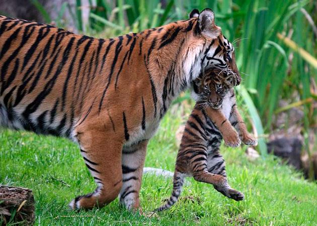 Самцы суматранского тигра активно помогают выращивать свое потомство