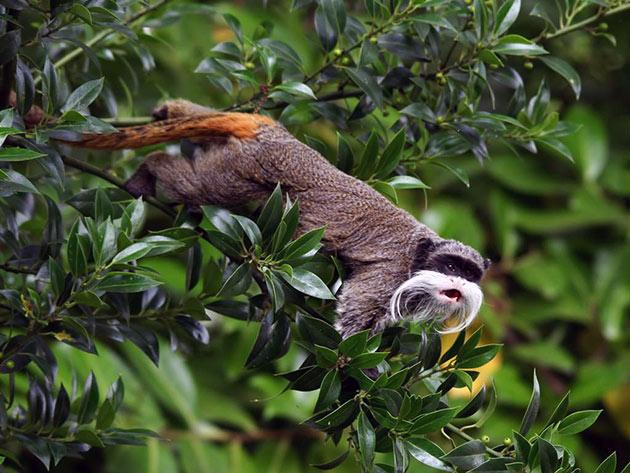 Живут тамарины в густых тропических лесах и передвигаются исключительно по деревьям