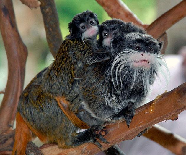 Основная угроза для тамаринов – массовая вырубка лесов