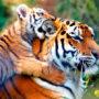 Тигры (лат. Раntherа tigris)