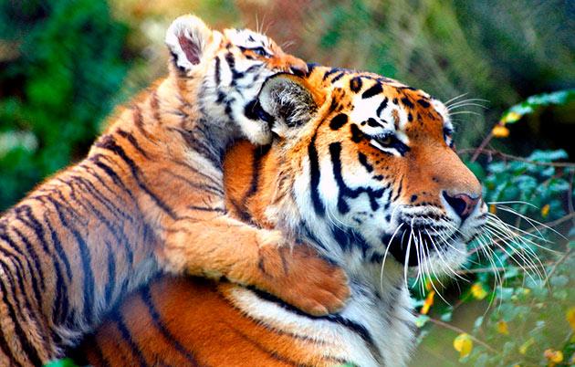 Брачный период у тигров начинается в декабре и длиться около двух месяцев