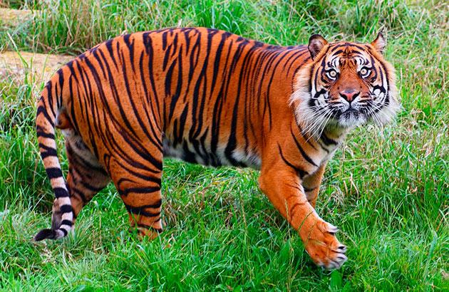 Места обитания тигров напрямую зависят от его вида