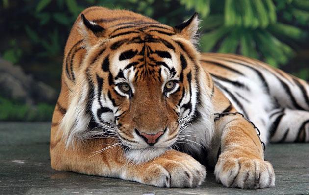 Продолжительность жизни амурского тигра напрямую зависит от того, к какому виду он относиться и варьируется от 15 до 25 лет