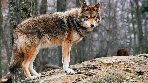 На сегодняшний день известно о 19 видов луговых собак или койотов
