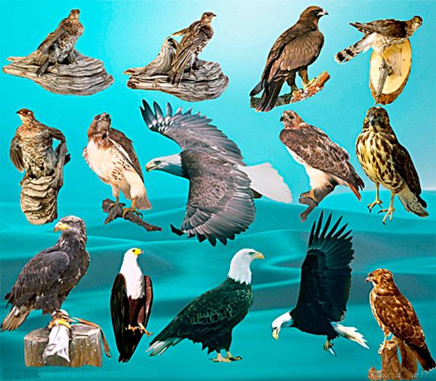 Орлы подразделяются на достаточно большое количество видов
