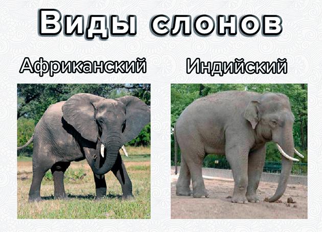 Миру известно два вида слонов: Африканский и Индийский