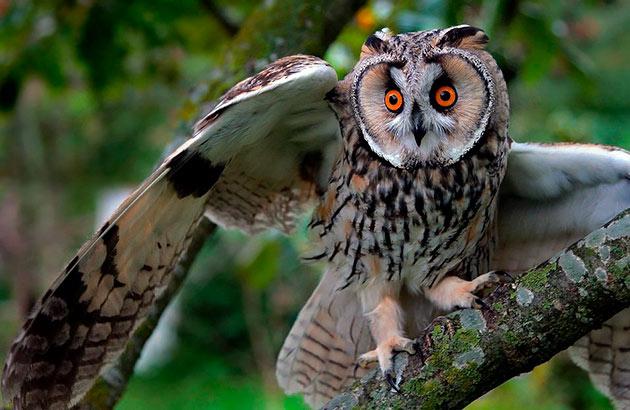 Основным врагом для сов является – отсутствие пищи, но есть и крупные хищные птицы, которые могут им навредить