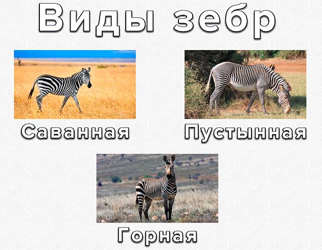 Зебра разделяется на три вида