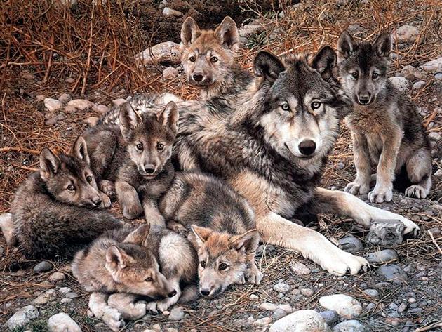 Серые волки моногамны и создают пары на всю жизнь