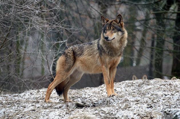 Волк или серый волк