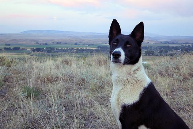 Ханаанская собака очень активная и требует соответствующих физических нагрузок