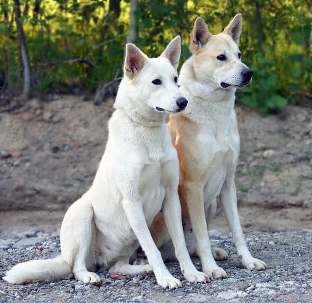 Характер у ханаанской собаки достаточно сложный из-за далеких пустынных предков
