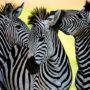 Зебры (лат. Нiрроtigris)