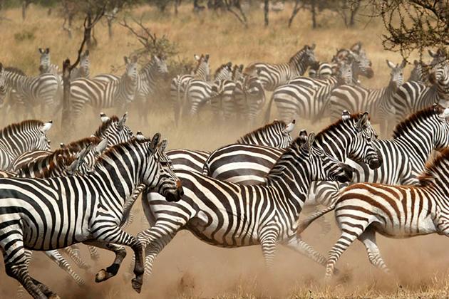 Тройка самых опасных врага для зебры: лев, гепард и леопард