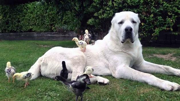 Среднеазиатская овчарка, обладает спокойным характером и уравновешенной психикой