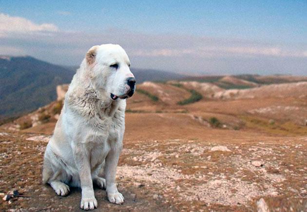 Среднеазиатская овчарка, или алабай