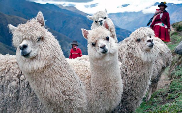 Главным достоинством альпаки, стоит отметить — длинное руно