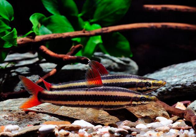 В природе обыкновенный аностомус нерестится парами, а в аквариуме есть небольшие трудности с этим процессом