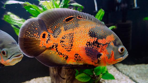 Астронотусы относятся к хищным рыбам, поэтом их рацион должен быть богат протеином