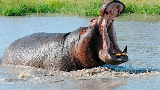 Основная угроза для бегемотов идет от львов и крокодилов