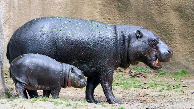 Самка бегемота вынашивает детеныша восемь месяцев