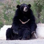 Белогрудый или гималайский медведь