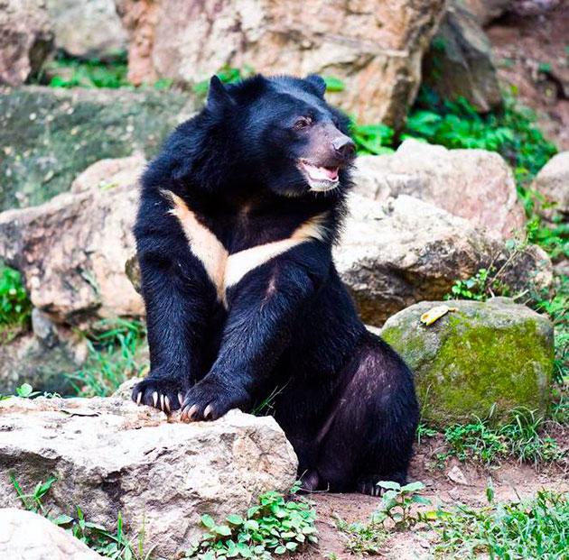 Излюбленными местами обитания для гималайских медведей являются лиственные и смешанные леса, пустыни