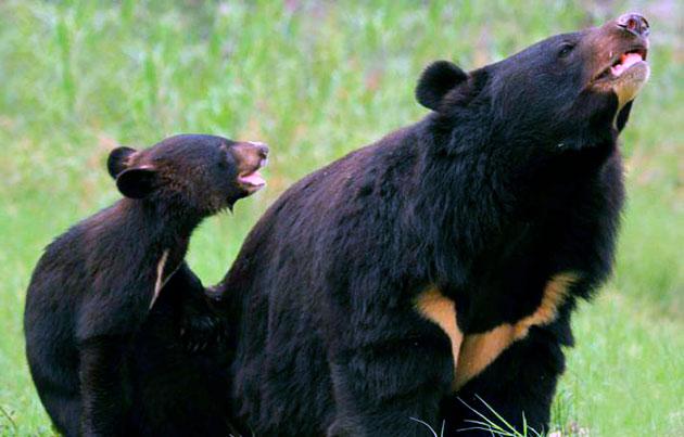 Беременность у самки белогрудого медведя длятся около 8 месяцев