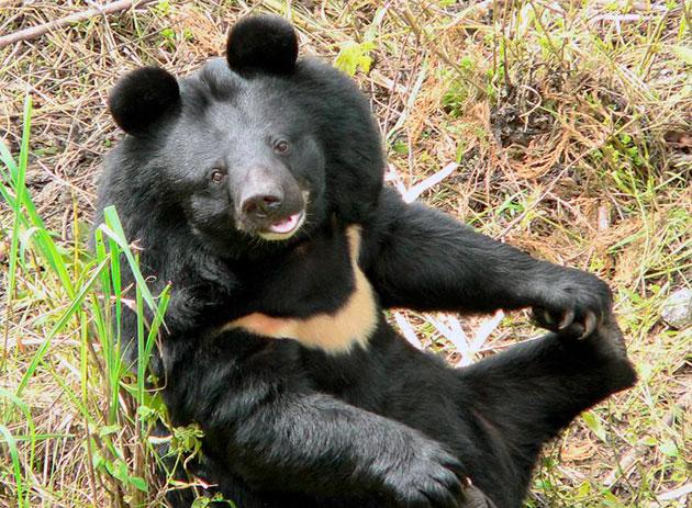В России и Вьетнаме гималайский медведь занесен в Красную книгу