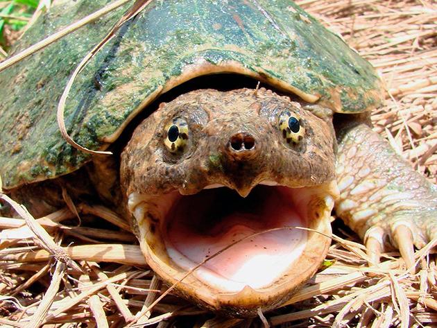 Несмотря на серьезную защиту черепах достаточно много врагов