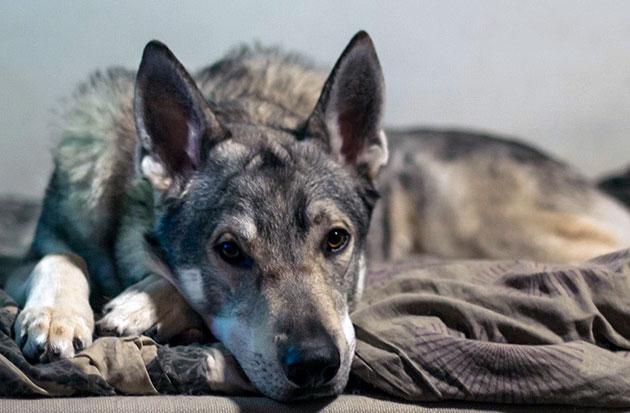 Влчаку характерен ряд родовых пороков, но в целом это крепкая собака