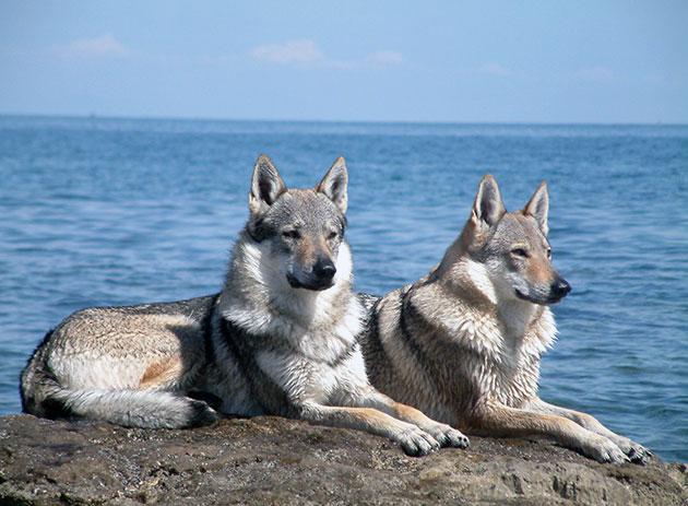 Чехословацкая волчья собака не рекомендуется новичкам-собаководом